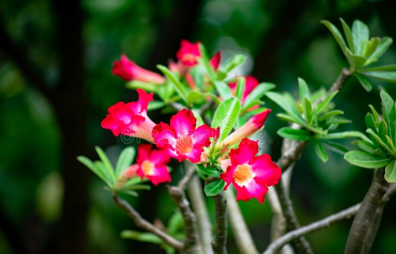 Adenium obesum or desert rose decoration flowers growing up in the garden at home. royalty free stock photo