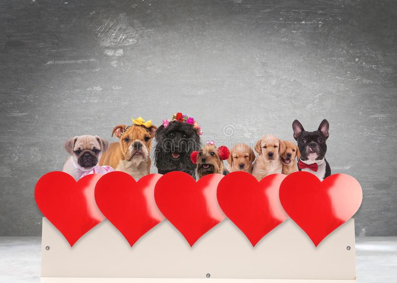 Group of adorable dogs celebrating valentine`s day royalty free stock photos