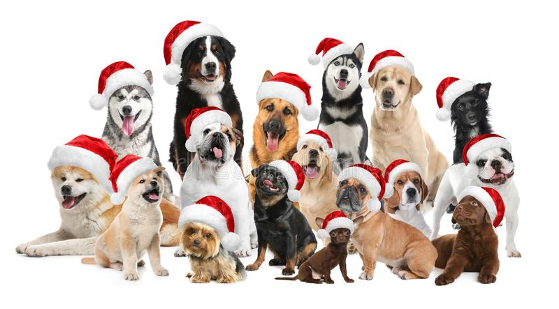 Group of adorable dogs in Santa hats on background royalty free stock photos