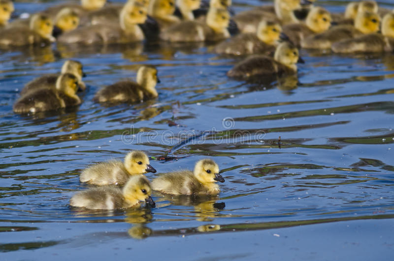 Group of Adorable Goslings Swimming in the Pond. Group of Adorable Little Goslings Swimming in the Pond royalty free stock images