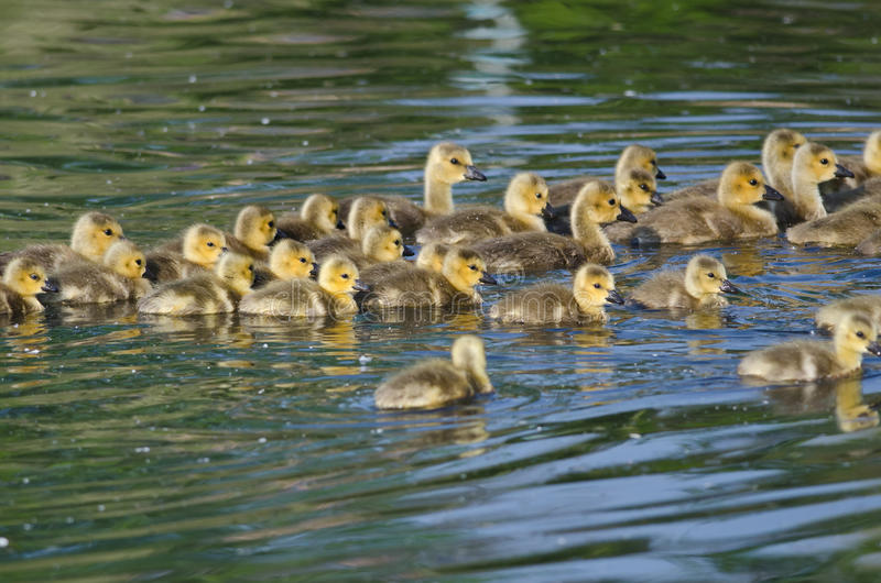 Group of Adorable Little Goslings Swimming in the Pond royalty free stock image