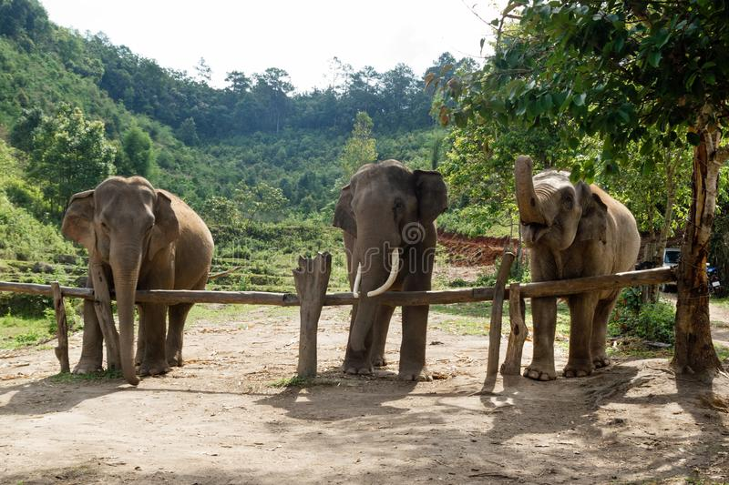 Group of adult elephants in Elephant Care Sanctuary, Chiang Mai province, stock image