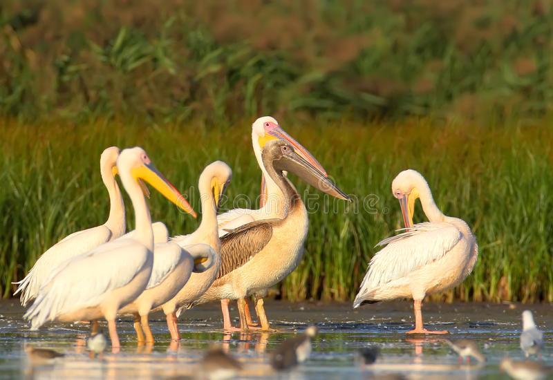 A group of adult white pelicans and one young pelican rest in the water. Close-up and detailed photo stock photography