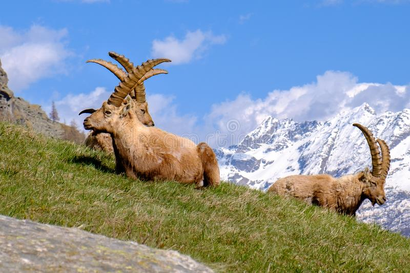 Group of adults Ibex lying on the grass with long horns in a summer sunny day. Gran Paradiso national park fauna, Italy. Alps mountains, Europe stock images