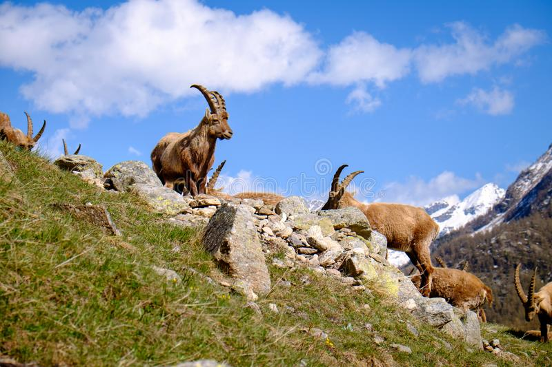 Group of adults Ibex on the stones with long horns in a summer sunny day. Gran Paradiso national park fauna, Italy. Alps mountains, Europe stock photos