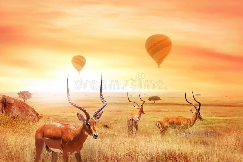 Group of african antelopes Eudorcas thomsonii in the African savanna against a beautiful sunset and air balloons. African fanta. Stic landscape. Flight over the stock photography