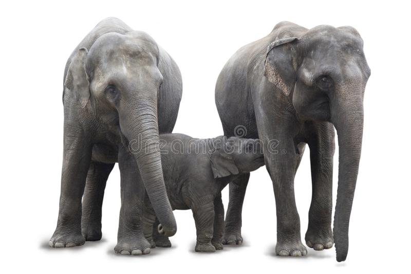 Elephant family standing together - mommy breast feeding the baby African elephant, isolated on white background. royalty free stock images