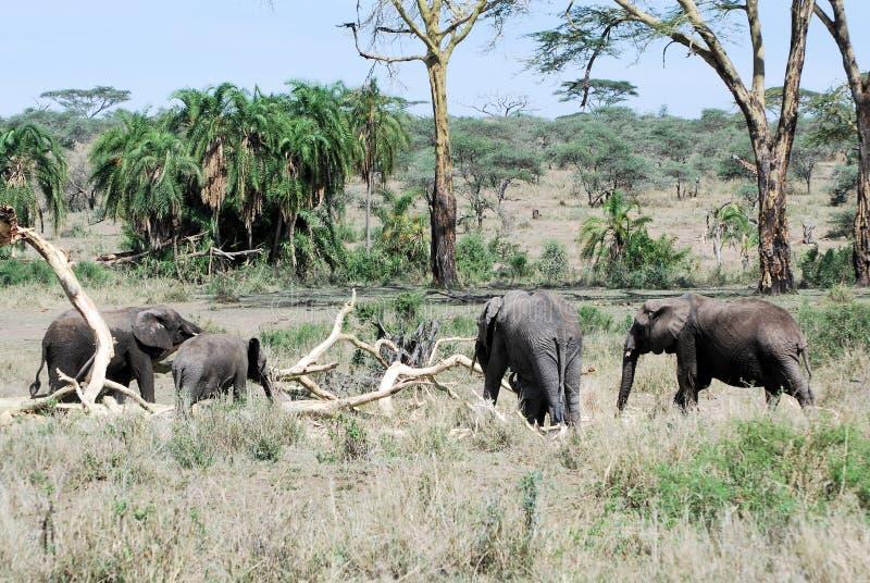 Group African elephants Serengeti National Park. Group of African elephants in green landscape with palm, acacia and dead trees – Serengeti National Park stock photo