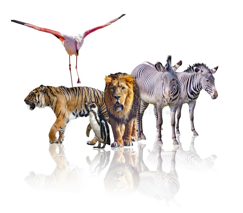 Group of African Safari animals walking together. It is isolated on the white background. It reflects their image. There are royalty free stock photo