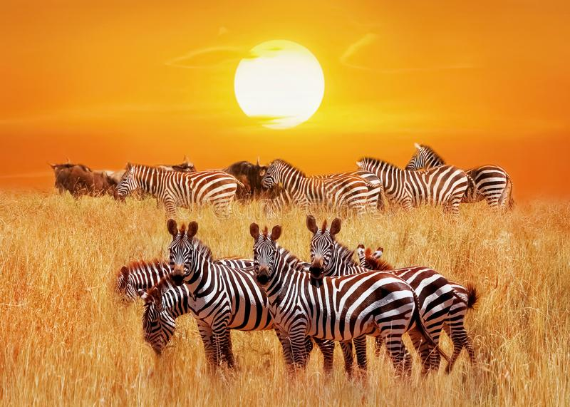 Group of african zebras at sunset in the Serengeti National Park. Africa. Tanzania. Artistic african natural image stock photography