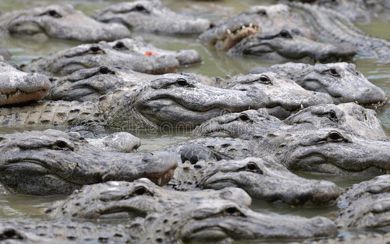 Group of alligators. In lake or river stock photo