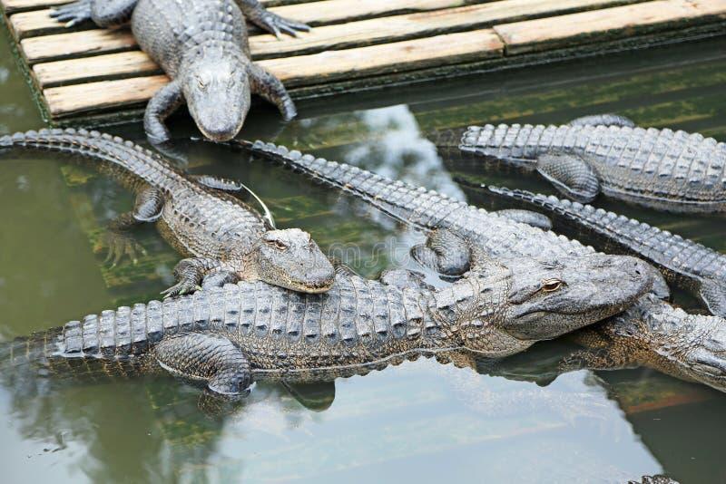 Group of alligators stock photos