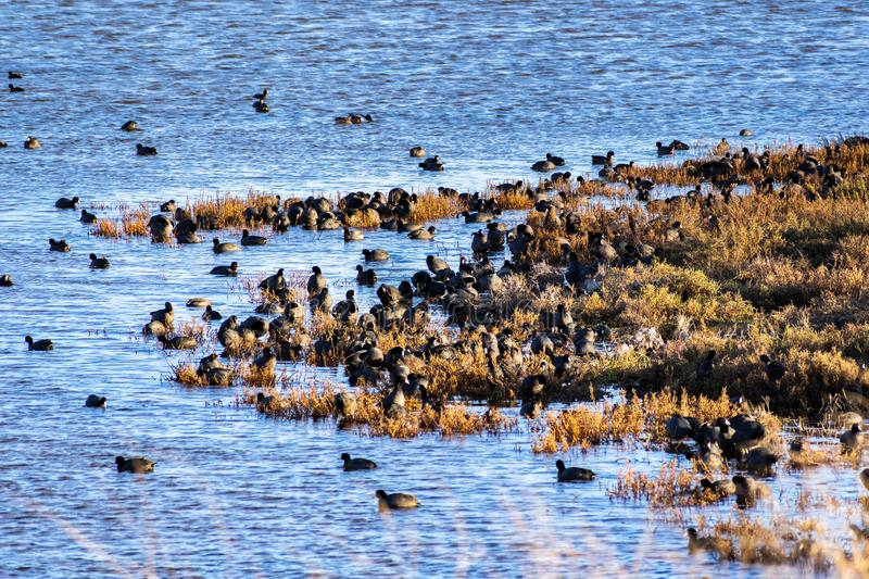 A group of American Coots on the shores of south San Francisco bay area, California royalty free stock photos