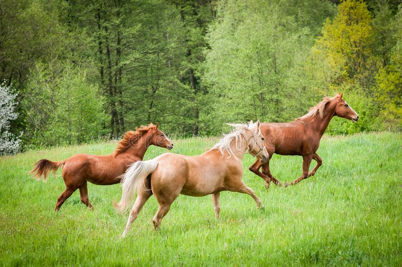 Group of American Paint Horses running on the meadow. Group of American Paint Horses running on the green meadow royalty free stock photo