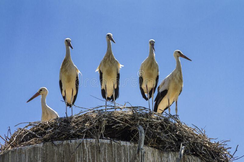 Group of amusing young the white storks Ciconia ciconia in huge nest. Under the summer sky stock photos