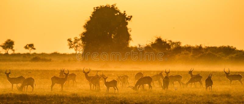Group of antelope at sunset. Close-up. Botswana. Okavango Delta. stock images