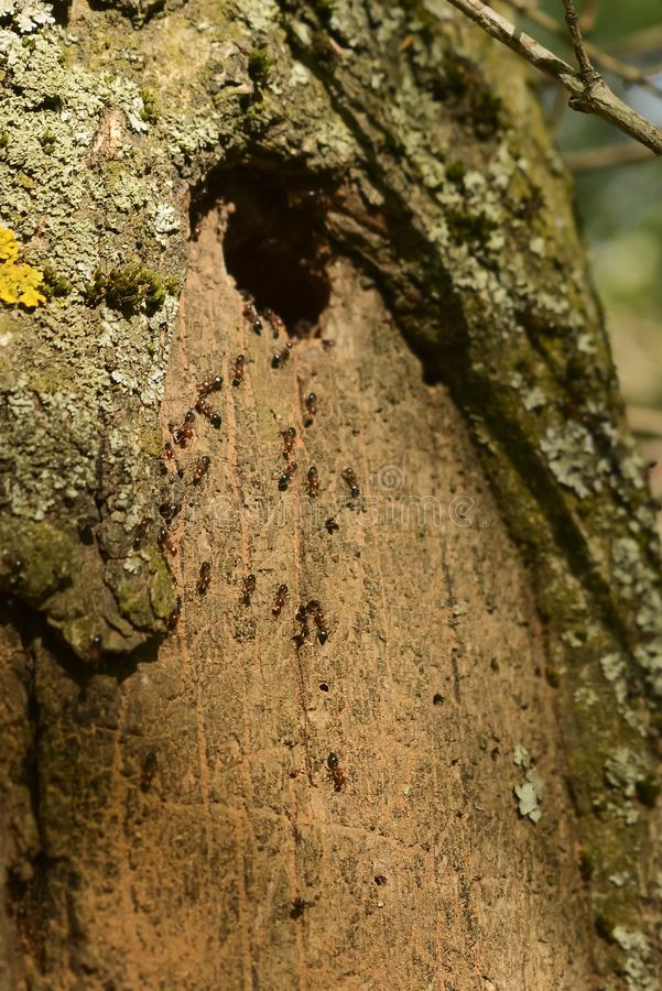 Group of ants nesting in the tree royalty free stock image