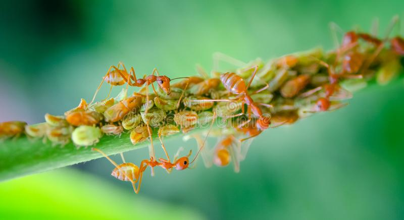 Group of aphid with red ant on tree branch royalty free stock photography