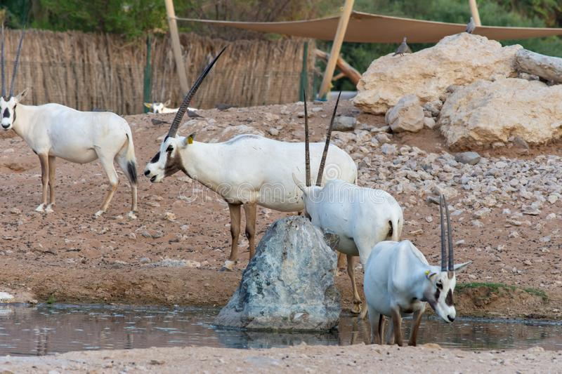 A group of arabian oryx Oryx leucoryx  critically endangered resident of the Arabian Gulf stands in the hot desert sand near a. Water hole in Al Ain, United royalty free stock photography