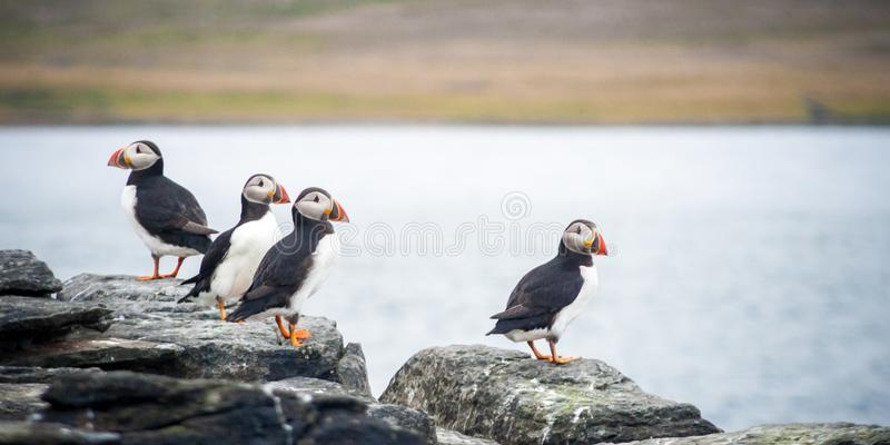 Group of atlantic or common puffins sitting on the rock in Iceland. Group of atlantic or common puffins sitting on a cliff in Iceland royalty free stock photo