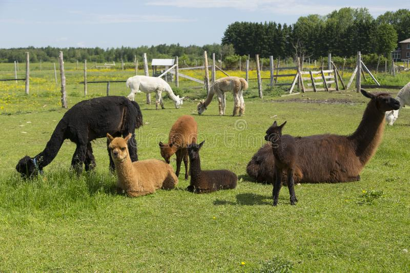 Group of baby and adult alpacas and one large llama resting or grazing in their enclosure royalty free stock image
