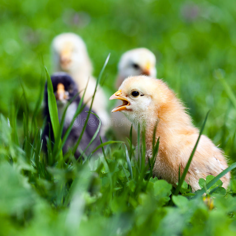 Download Group Of Baby Chicks In Grass Stock Image - Image: 24672251