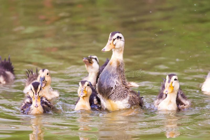 A group of baby duck playing on water. Group of baby duck playing on water royalty free stock photo