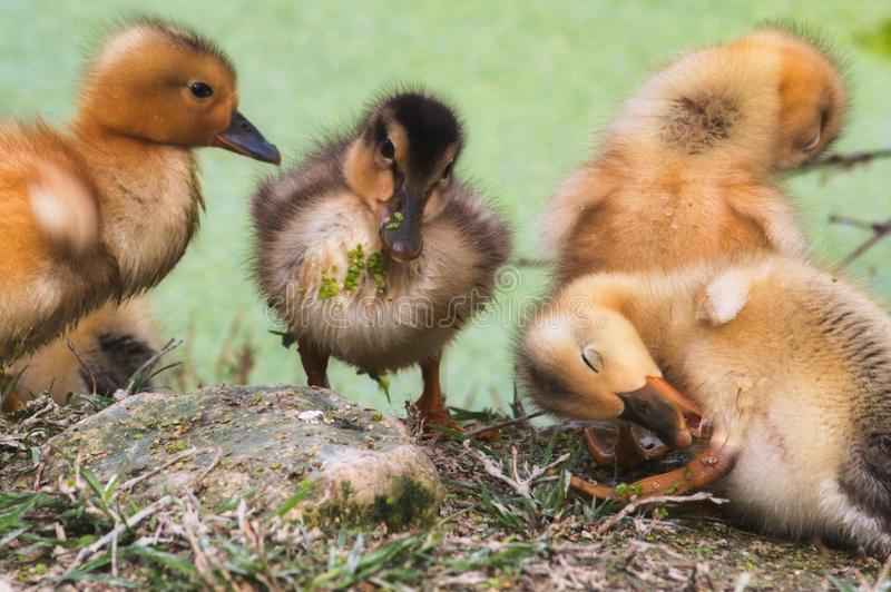 Group of baby ducklings on the shore of a lake in the forest cleaning themselves royalty free stock image