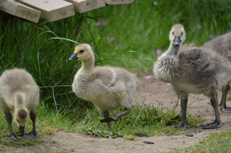 Group of baby geese stock photo