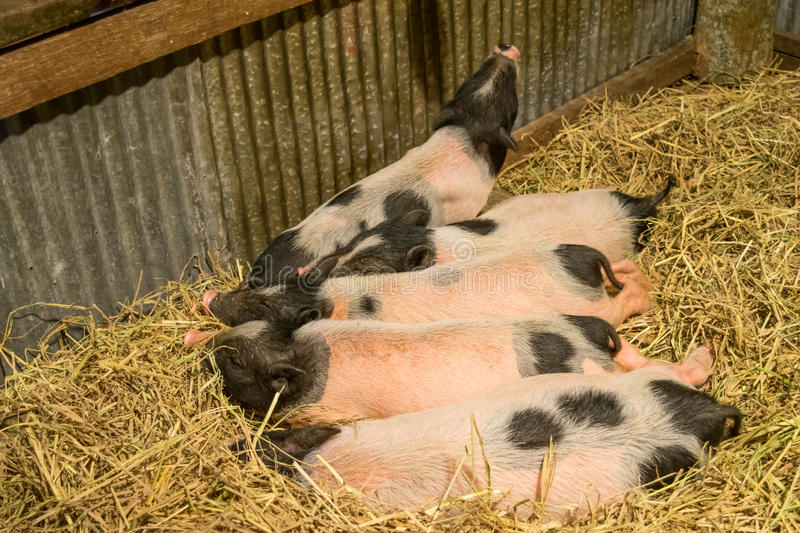 Download Group Baby Pig Two Tone Color Are Sleeping On The Dry Hay Stock Image