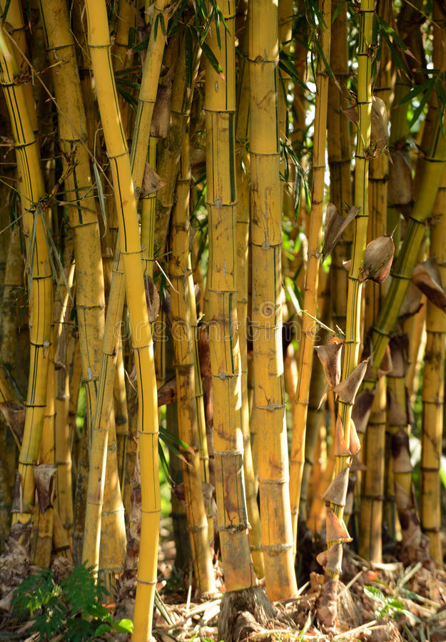 Download Group Of Bamboo Plants Growing In The Rainforest Stock Image - Image: 31542111