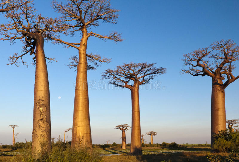 Group of baobab trees stock images
