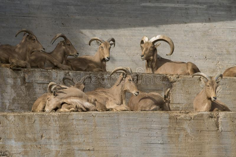 Group of barbary sheeps in a wall royalty free stock image