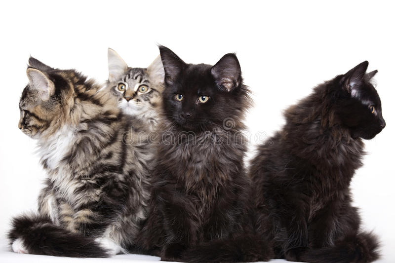 Download Group Of Beautiful Maine Coon Kittens Stock Photo - Image: 12113406