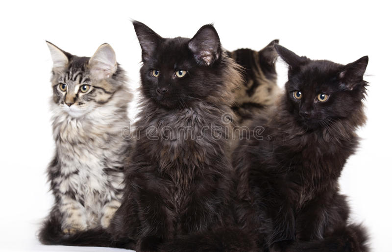 Download Group Of Beautiful Maine Coon Kittens Stock Photo - Image: 12213480