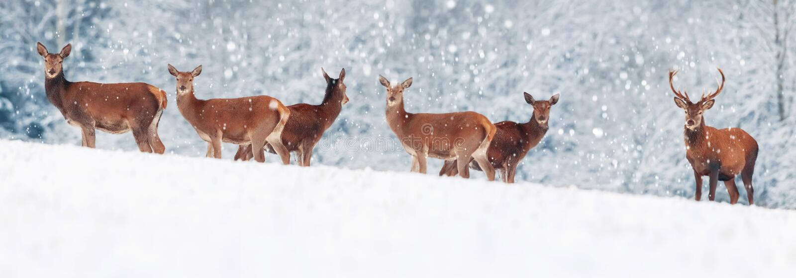 A group of beautiful male and female deer in the snowy white forest. Noble deer Cervus elaphus. Artistic Christmas winter image royalty free stock images