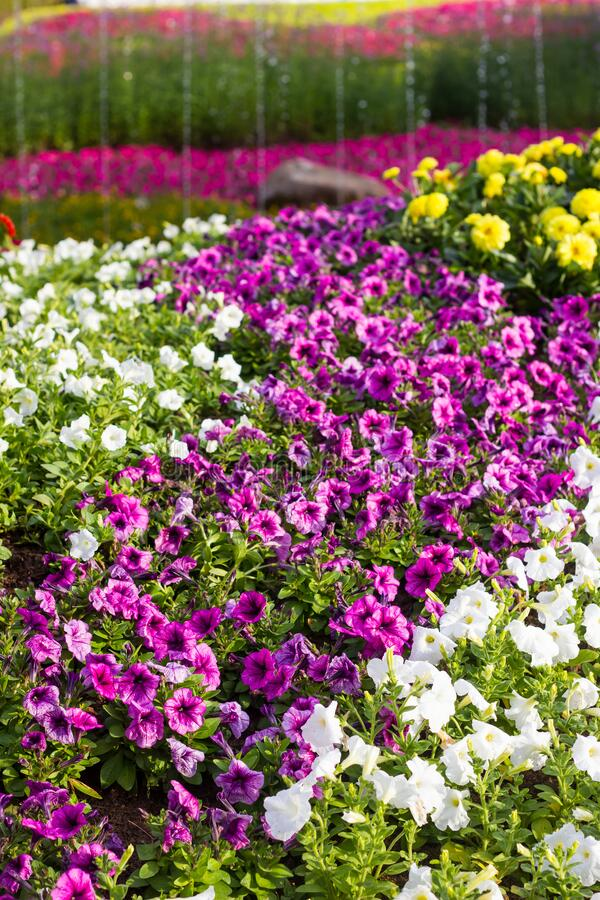 Group of Beautiful Petunia flowers. In the garden stock image
