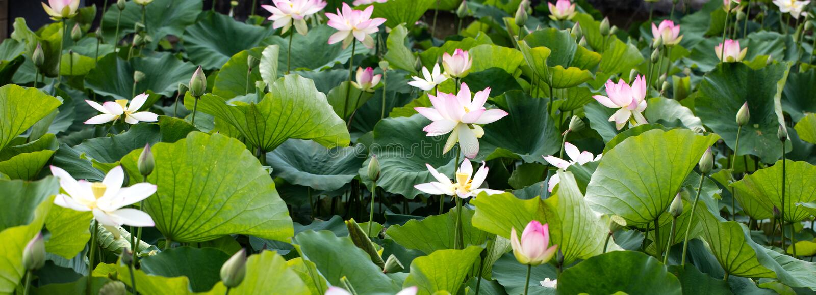 Group of beautiful pink and white lotus flowers, panoramic view stock image