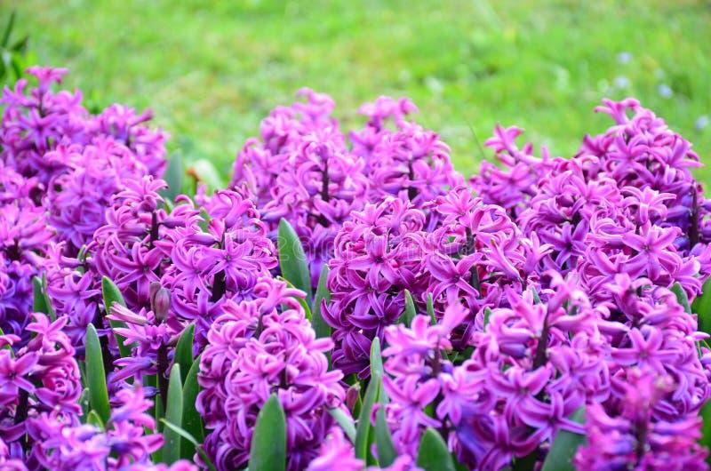 Group of beautiful purple hyacinths stock photo