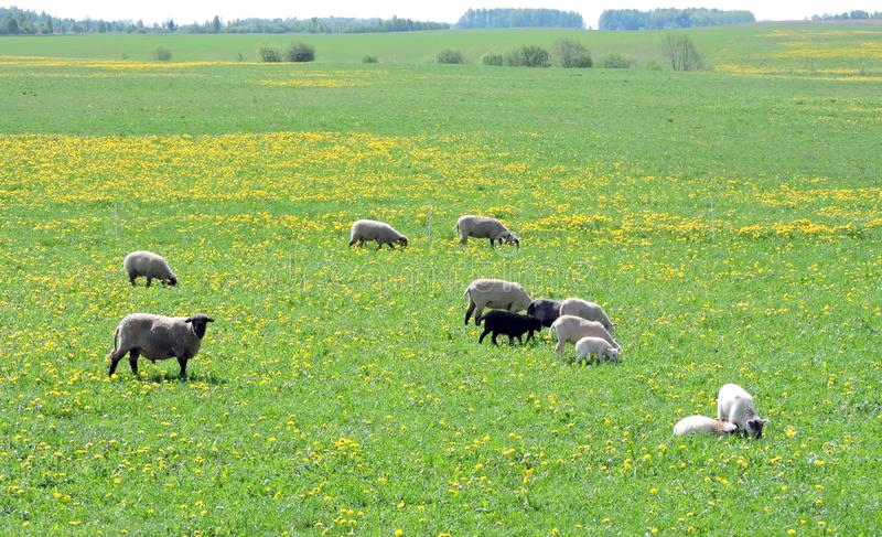 Beautiful sheep in spring field, Lithuania. Group beautiful sheep in green spring field stock images