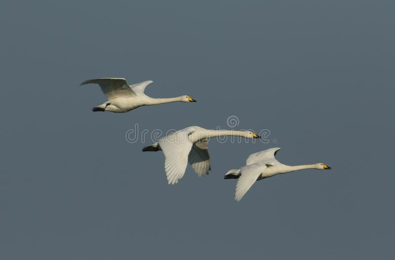A group of beautiful Whooper Swan, Cygnus cygnus, flying in the blue sky on a cold winters morning. stock image