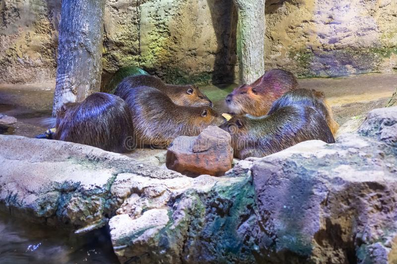 Group of beavers lie on the stones at the zoo royalty free stock photo
