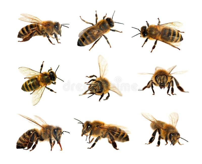 Group of bee or honeybee in Latin Apis Mellifera, european or western honey bees isolated on the white background, golden royalty free stock photo