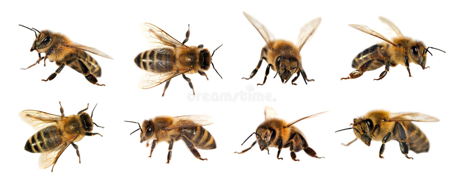 Group of bee or honeybee on white background, honey bees. Group of bee or honeybee in Latin Apis Mellifera, european or western honey bee isolated on the white