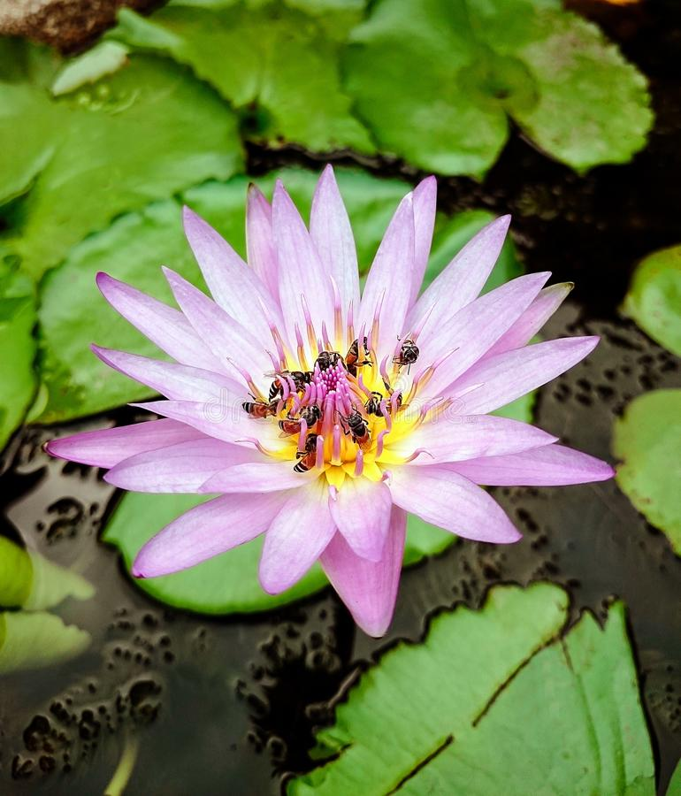 Group of bees on a purple shade of white lotus flower royalty free stock photos