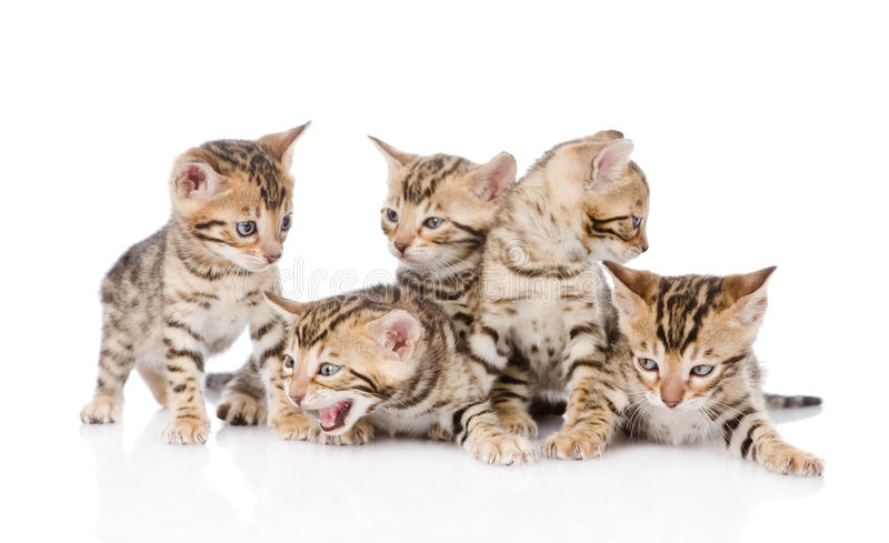 group bengal kittens looking at camera. isolated on white background stock photos