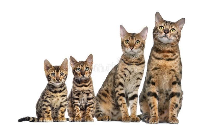 Group of Bengal sitting royalty free stock photography