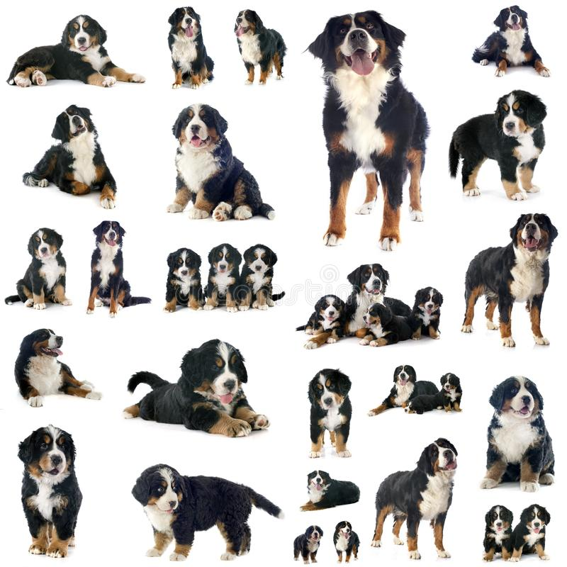 Group of bernese mountain dog stock photography