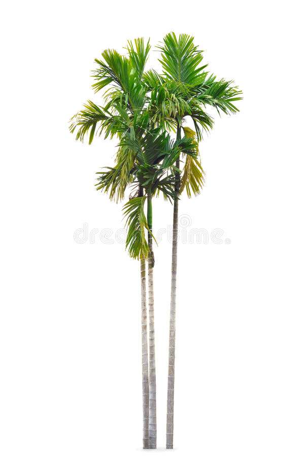 Group of betel palm trees isolated on white royalty free stock image