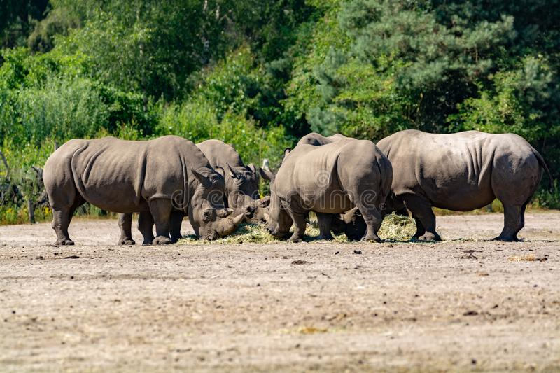 Group of big adult African black rhinoceros eating grass in safari park stock image